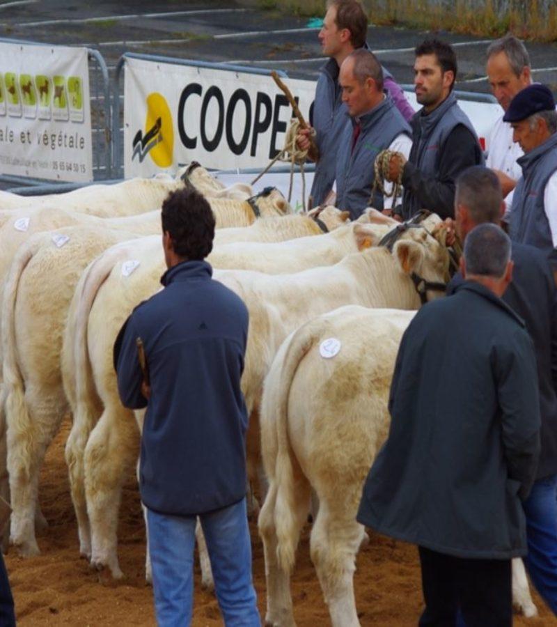 Des membres du Charolais Aveyron présentant leurs bêtes en concours
